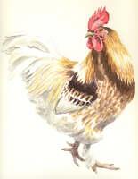 Albus the cockerel