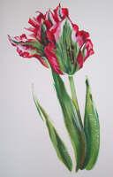 Fiery tulip