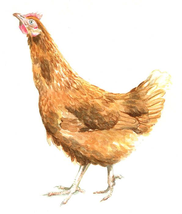 Stretching chicken